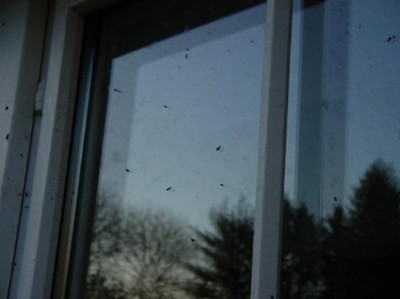 Bat droppings on window Copyright Anne Youngman, Bat Conservation Trust